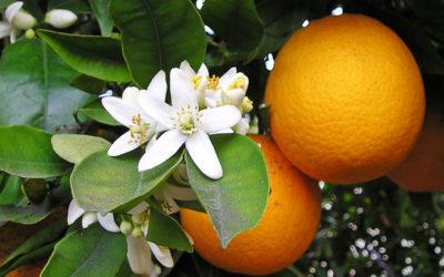 Первый фестиваль Апельсинов в Анталии