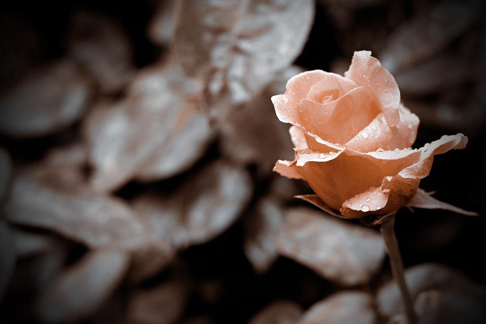 Испарта, роза
