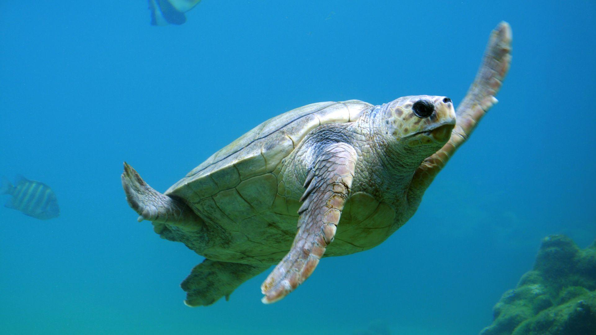 Взрослая особь черепахи каретта